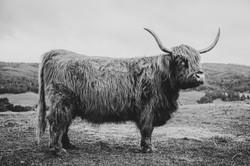 09 - Highland Cow 1 B&W
