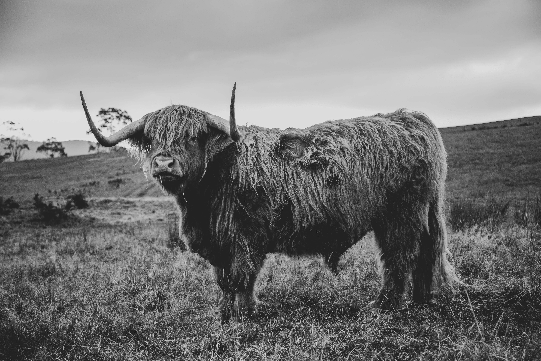 15 - Highland Cow 4 B&W