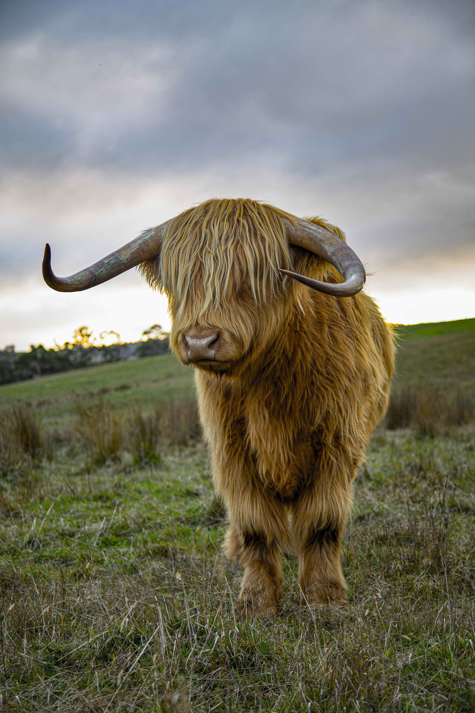 16 - Highland Cow 5