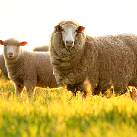 SEE YOU AT SHEEPVENTION