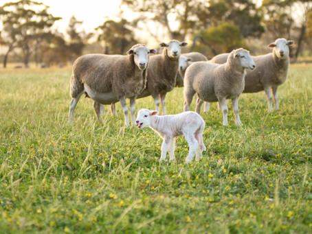 TRAC BEEF & SHEEP TECH TIP - DYSTOCIA