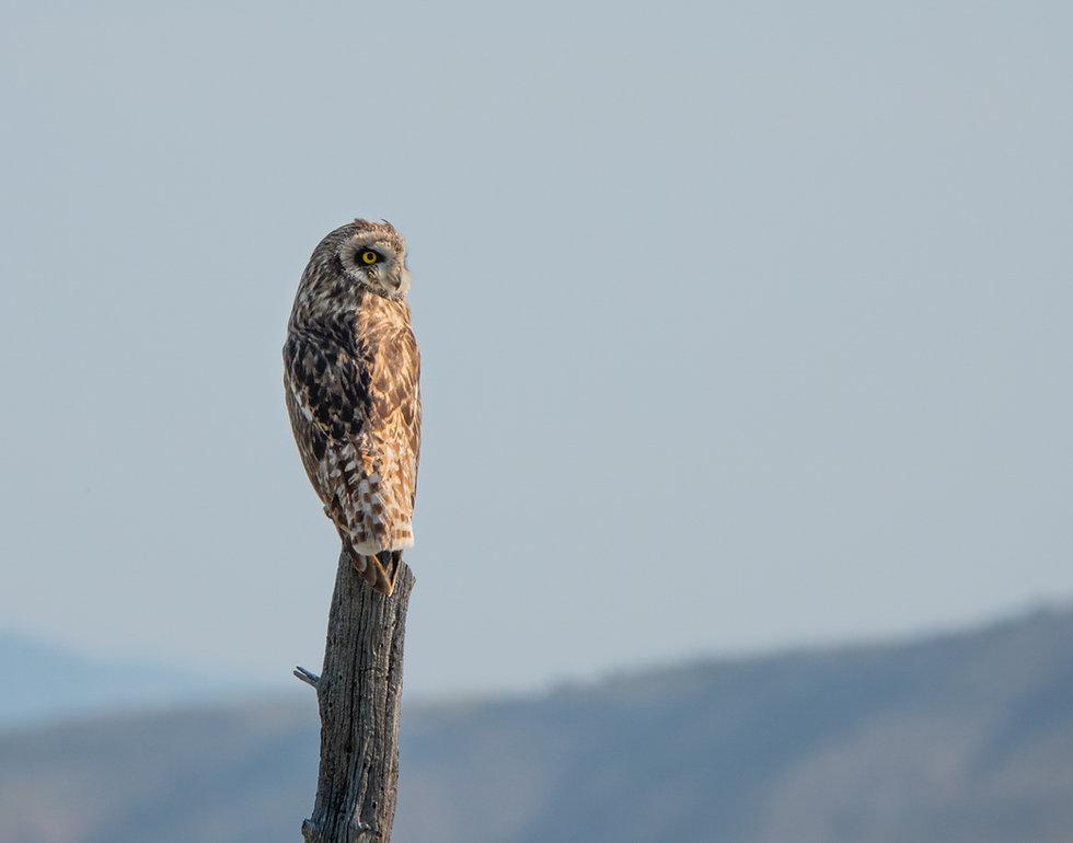 Great Horned Owl - Montana