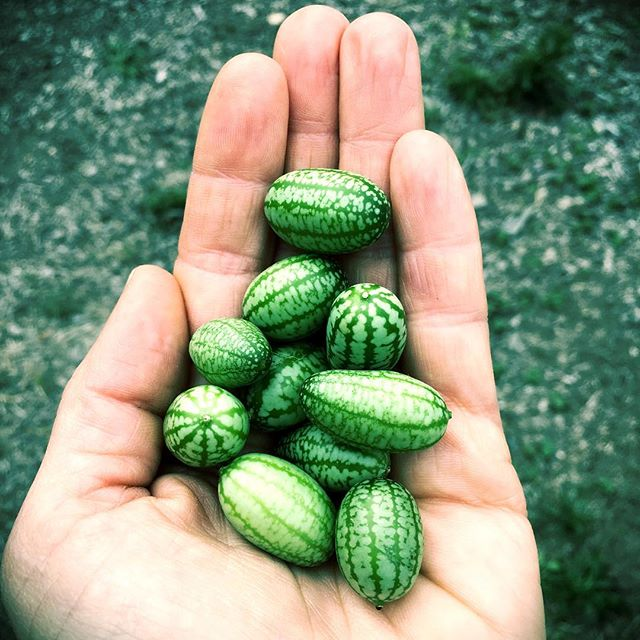 Say hello to my little friends #mexicansourgerkins are coming in _ #thelotusfeed