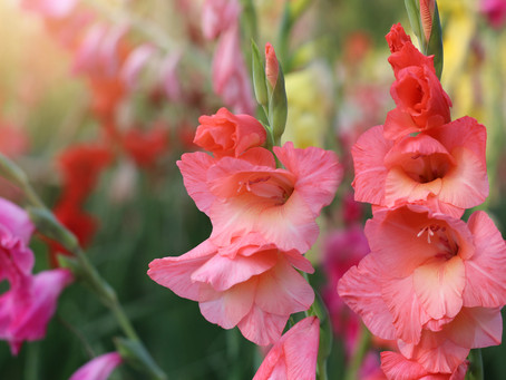 How to Grow Gladiolis at Home