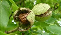 walnuts-1564979_1920.jpg
