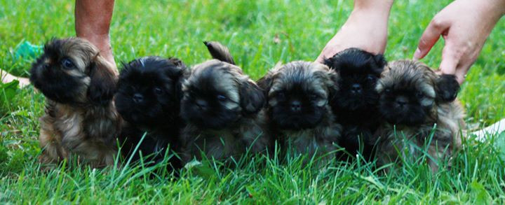 All the puppies at the age of 6 weeks