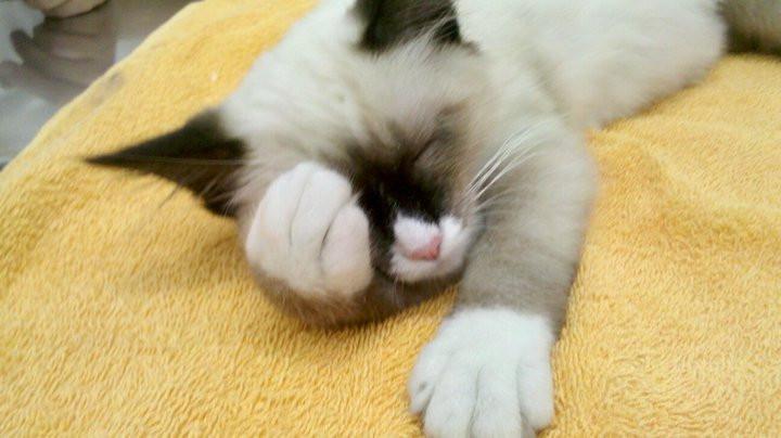 Embora não esteja visível, a gatinha está sendo tratada com diversas agulhas nas patinhas de trás.