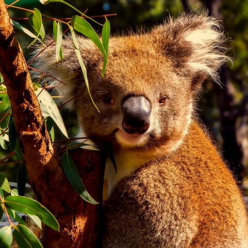 Gli incendi in Australia non hanno risparmiato niente e nessuno: molte delle piante presenti solo in questo Paese stanno scomparendo e tra queste anche i vegetali e gli arbusti di cui si cibano gli animali simbolo della nazione. Questa tragedia infatti sta mettendo a rischio specie come il koala, il canguro e l'echidna. In seguito a questi eventi, tutta la catena alimentare e l'ecosistema dell'Australia muteranno. Photo credit: Tpsdave on Pixabay