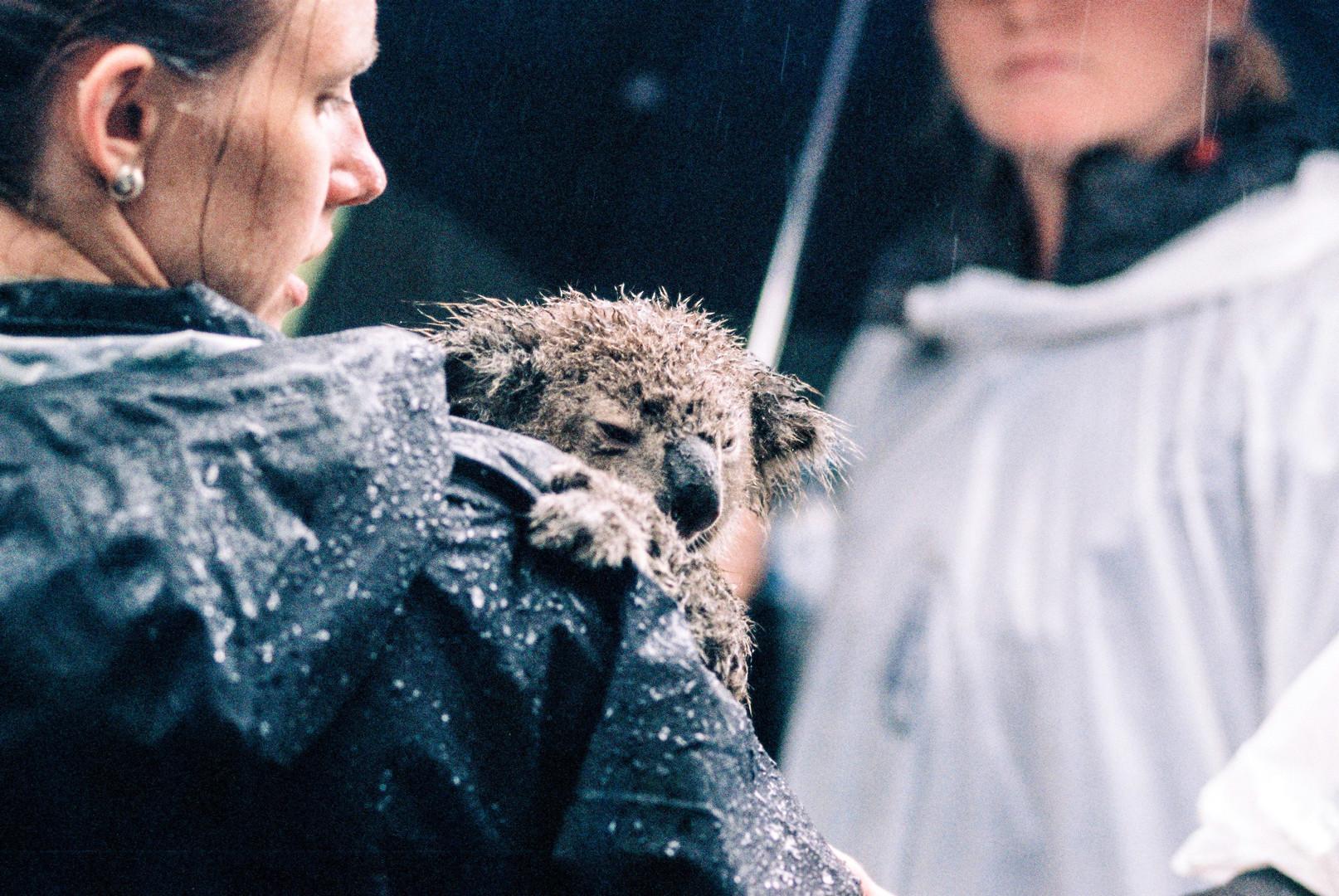 In Australia oltre 350 koala sono morti, dopo che gli incendi hanno distrutto migliaia di ettari dei loro habitat nel nord del New South Wales e nel sudest del Queensland. La popolazione locale si sta mobilitando per salvarli: il Koala Hospital di Port Macquarie ha in cura 31 esemplari recuperati in diverse località. I koala vengono reidratati e le loro ustioni vengono trattate con creme e fasciature.  Fonte: Repubblica.it Photo credit: Simon Peel on Unsplash