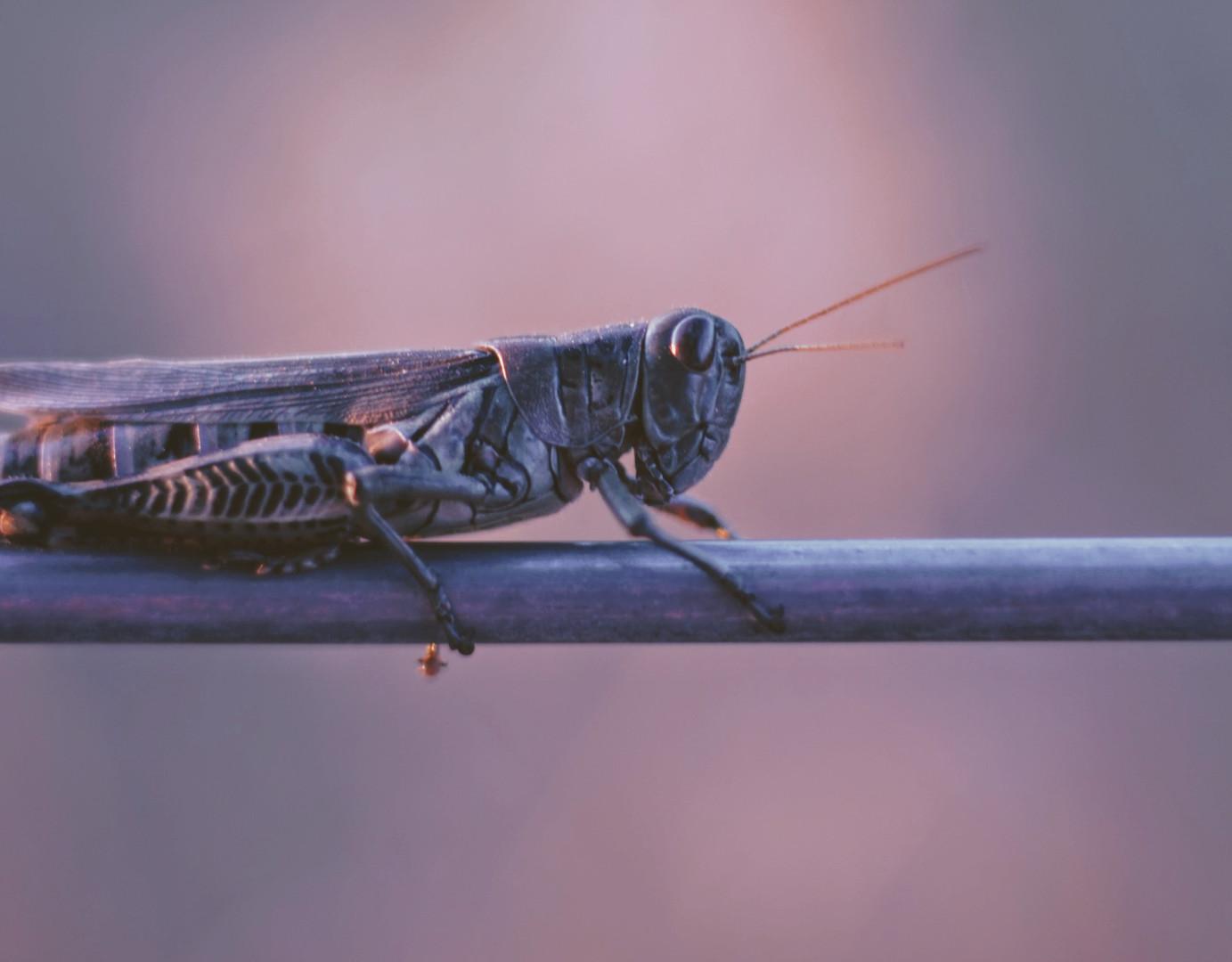 In Africa le locuste hanno devastato i campi coltivati. Dopo essere arrivate in Somalia dallo Yemen a metà luglio, hanno invaso il Corno d'Africa e hanno raggiunto molte altre zone del continente. Photo credit: Joshua Hoehne on Unsplash