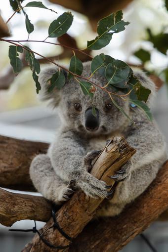 L'Australian Koala Foundation (Akf) negli scorsi mesi ha definito i koala funzionalmente estinti. Il numero di esemplari rimasti sarebbe infatti insufficiente a garantirne un ruolo significativo nell'ambiente. Fonte: Wired.it Photo credit: Roland Kay-Smith on Unsplash