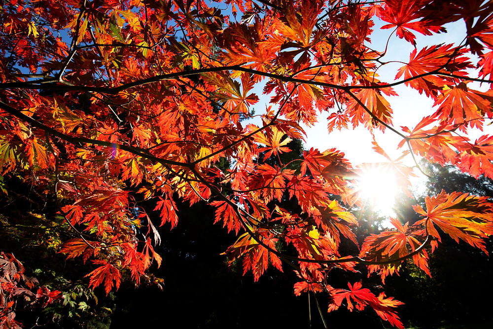 Fiery autumn foliage of a maple