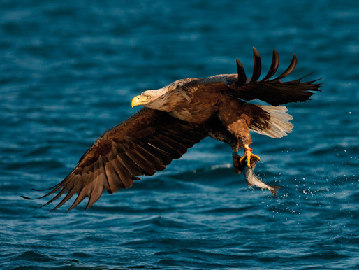 It's August: Watch Eagles on Mull