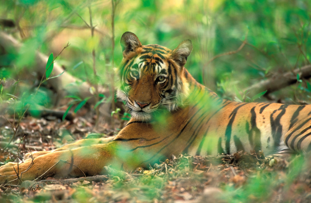Tiger, tiger, burning brighter – recent surveys reveal an increase in the Indian population of Bengal tigers