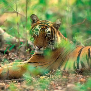 The Wonderful Thing About Tigers