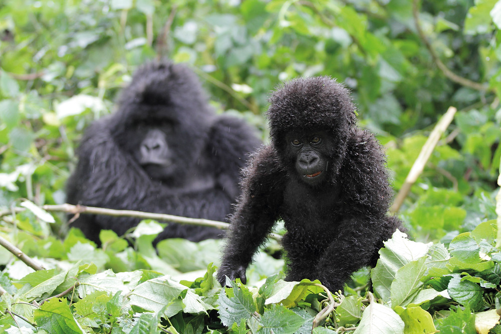 Who's watching who? Young mountain gorilla and it's mother in Rwanda's Volcanoes National Park