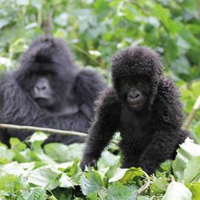 In the Midst of Mountain Gorillas