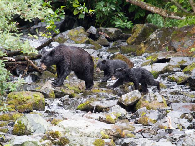 Black bear twins