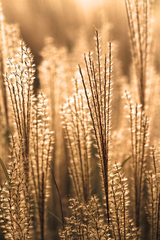 Miscanthus grass