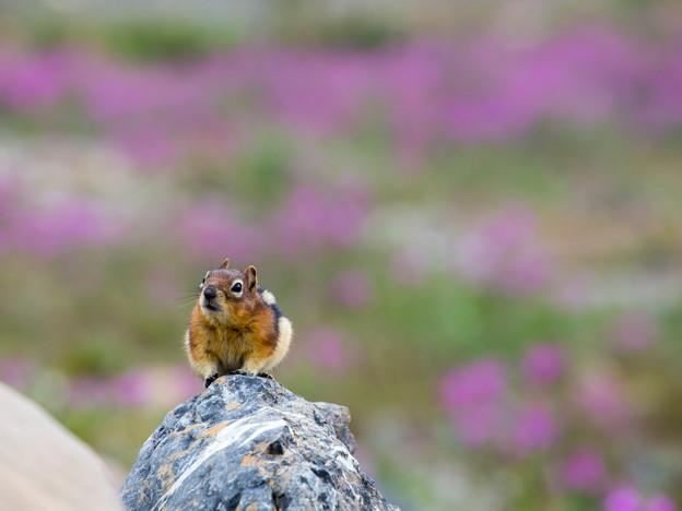 Golden-mantled ground squirrel, Alberta