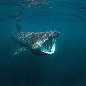 Basking Shark: A Big Fish Story