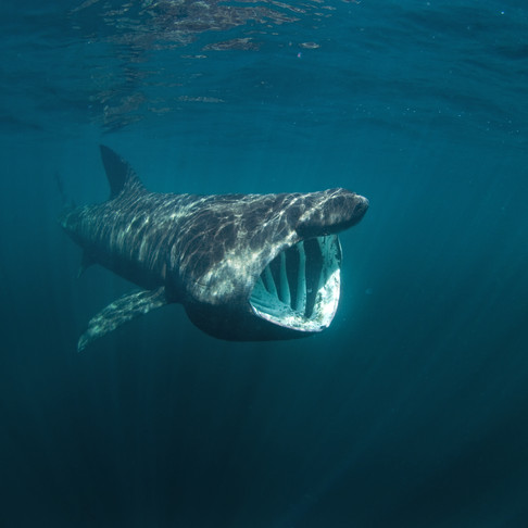 Basking Shark: A Big Fish Story