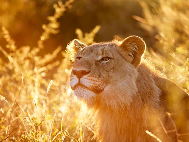 WilliamGray-Lion Madikwe.JPG