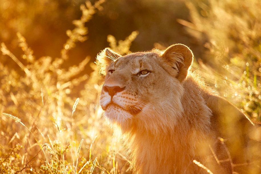 Lion in golden morning sunlight, Madikwe, South Africa, by photographer William Gray