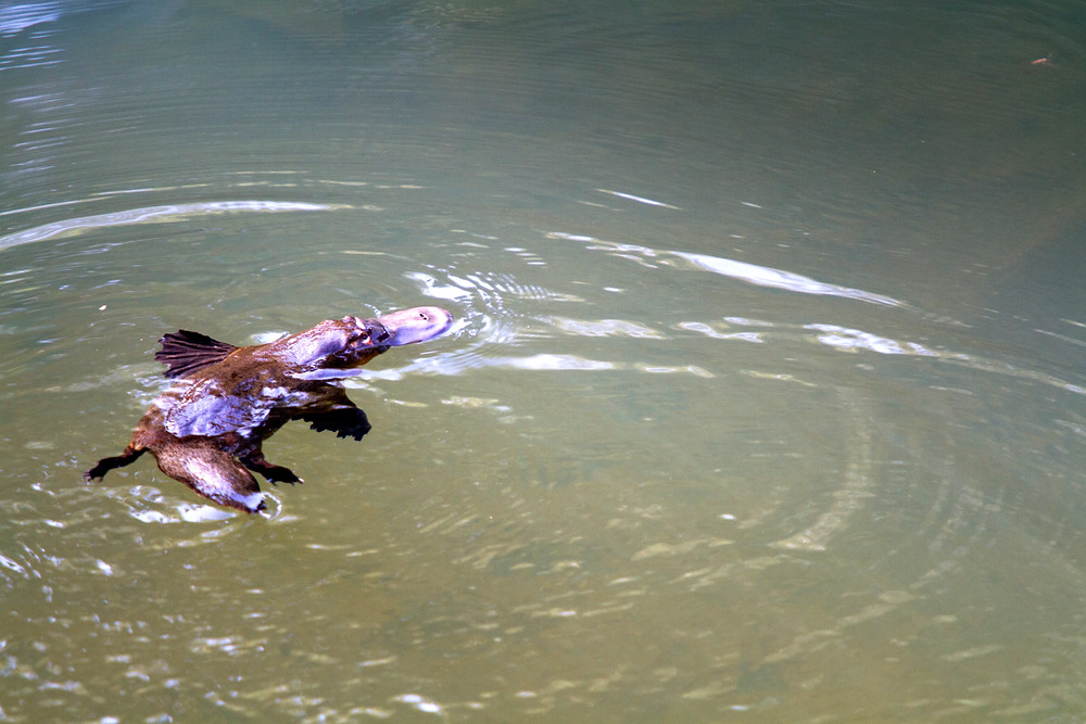 Duck-billed platypus, Eungella National Park, Queensland