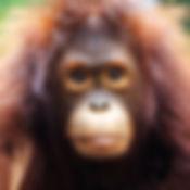 orangutan-WG_edited.jpg