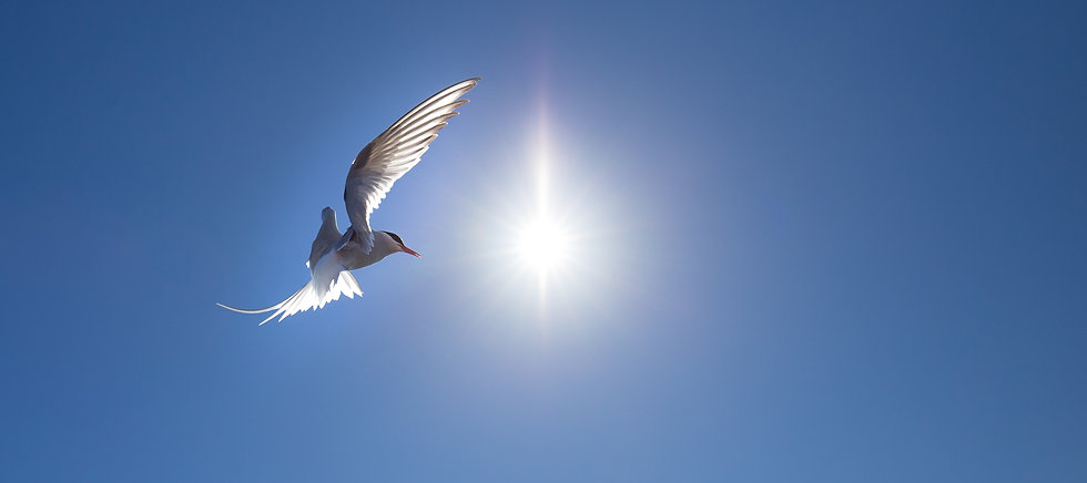 Arctic tern and midnight sun in Iceland, by photographer William Gray