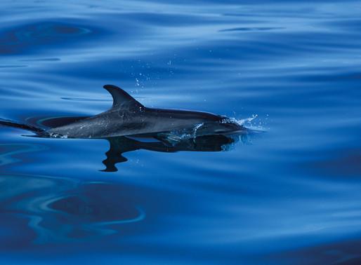 Spot Bottlenose Dolphins, Basking Sharks and Barrel Jellyfish in Cornwall