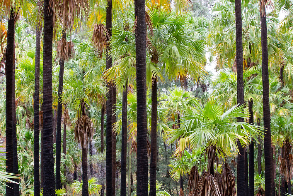 Carnarvon Gorge palm forest, Queensland