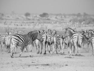 Zebra migration in Magkadikgadi