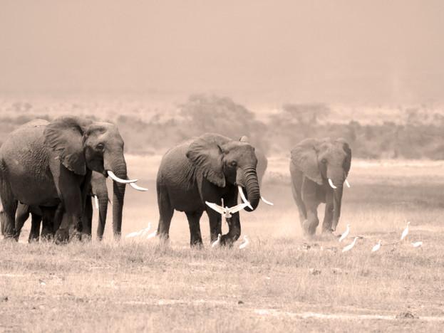 WilliamGray-Photography-Elephants Ambose