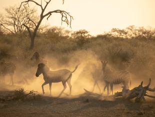 Zebra in Limpopo-Lipadi Wilderness