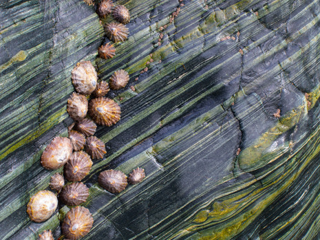 Limpets on serpentine