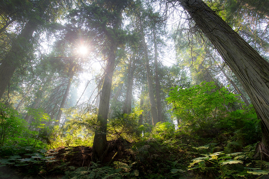 Forest in Revelstoke National Park, Canada by William Gray
