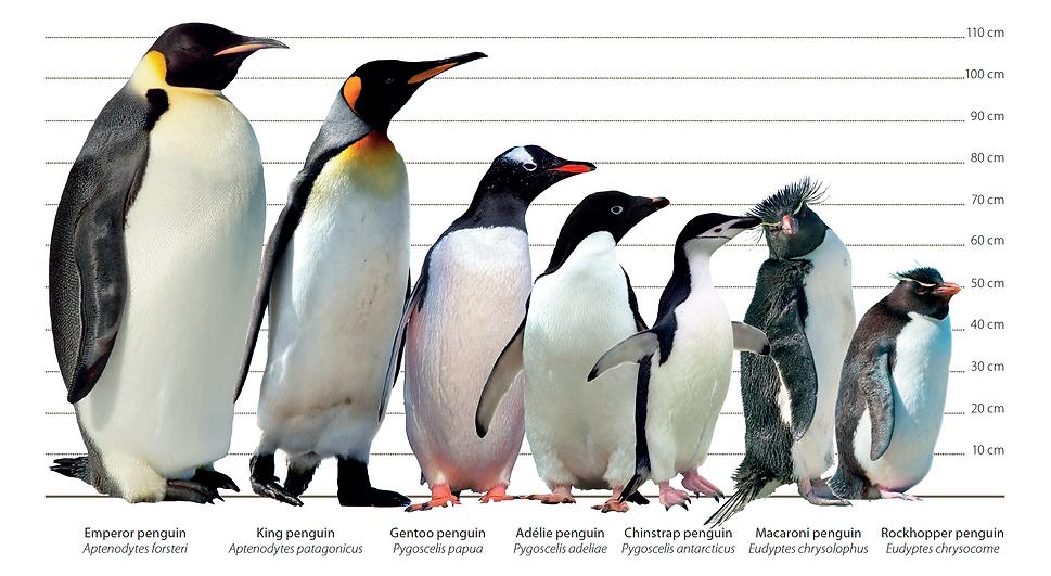 Penguin identification.png
