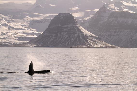 Orca, west Iceland, winter