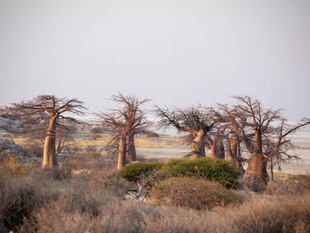 The ancient baobabs of Kubu Island