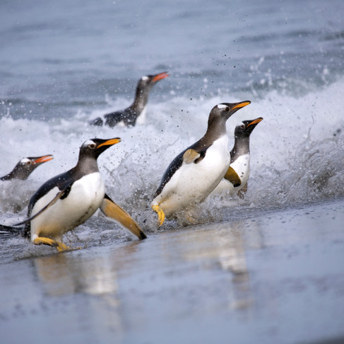 Falklands: Penguins on Parade