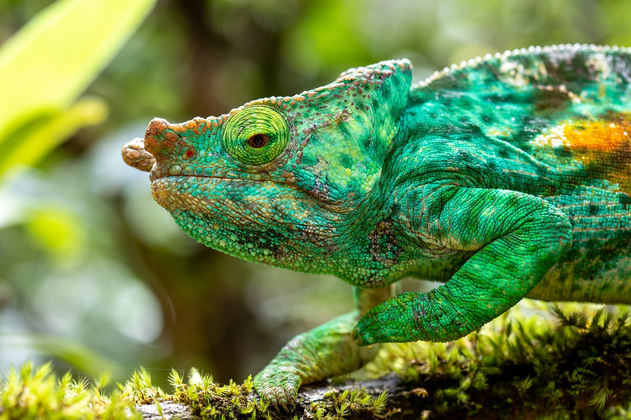 Parson's chameleon, Madagascar, by William Gray