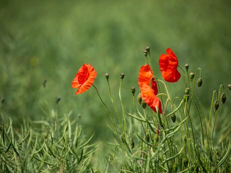 Trio of poppies
