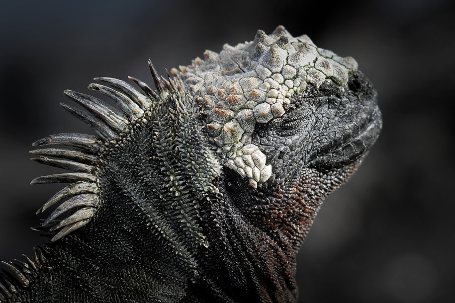 WilliamGray-Photography-Iguana Galapagos