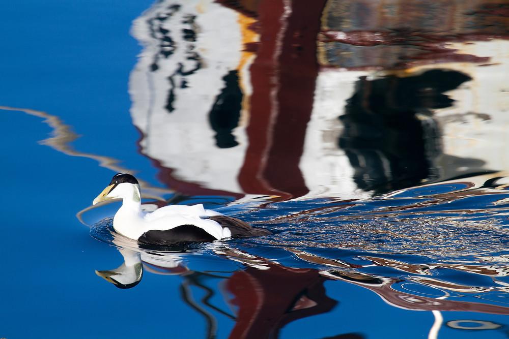 Wider duck, Iceland