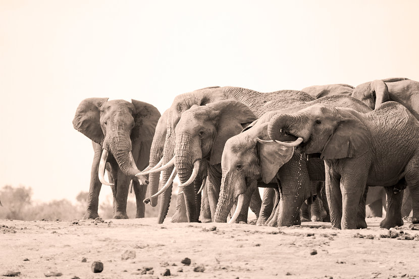 African elephants, Tsavo, Kenya by William Gray
