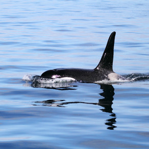 Winter Tails: Orca Spotting in Iceland