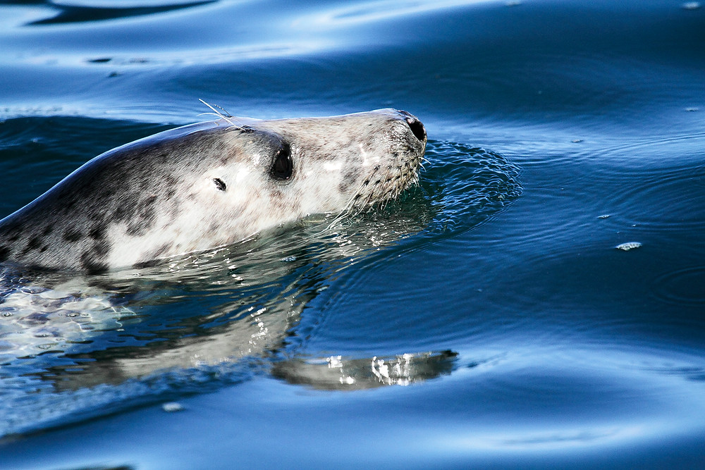 Close encounters with grey seals in the Isles of Scilly