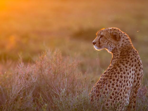 WilliamGray-Photography-Serengeti cheeta